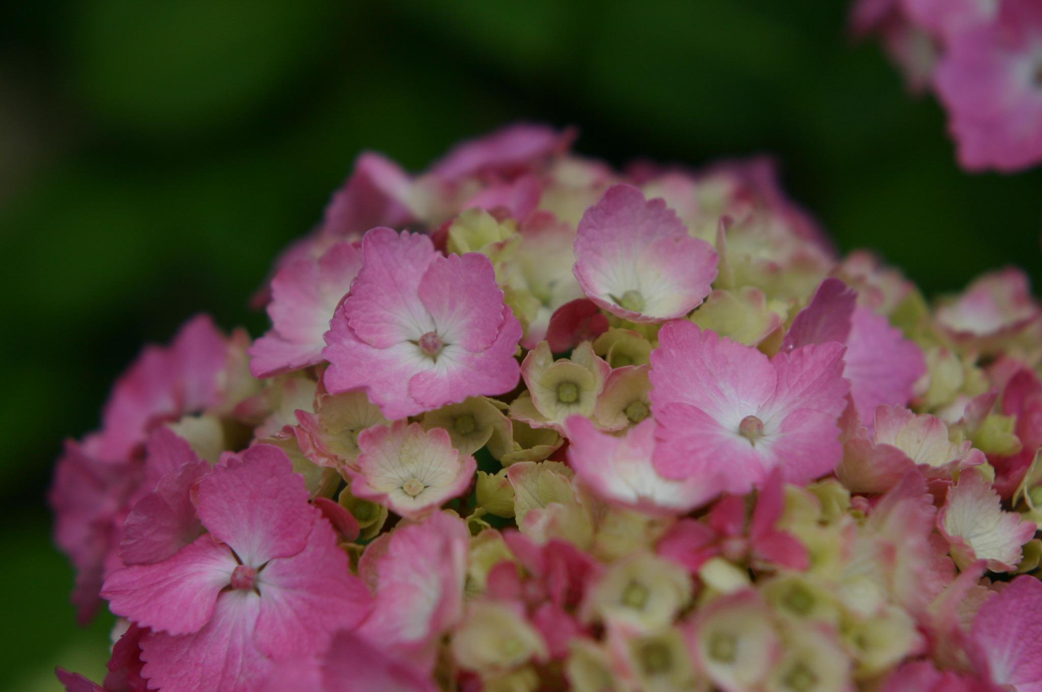 紫陽花の花をアップで