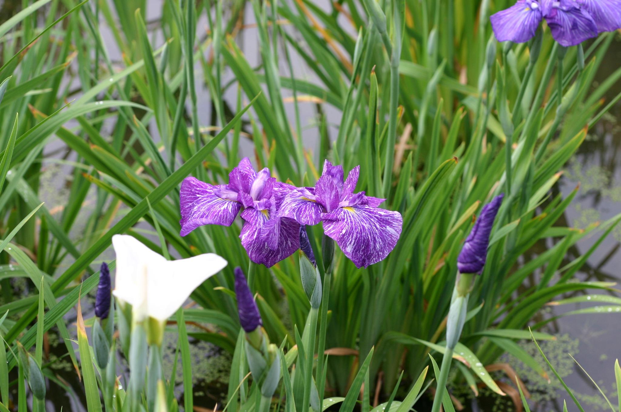 きれいに咲く青い菖蒲の花