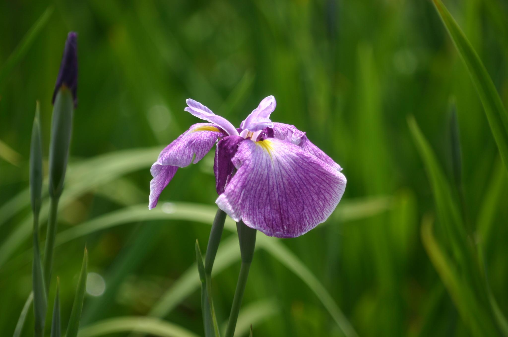 紫色の菖蒲