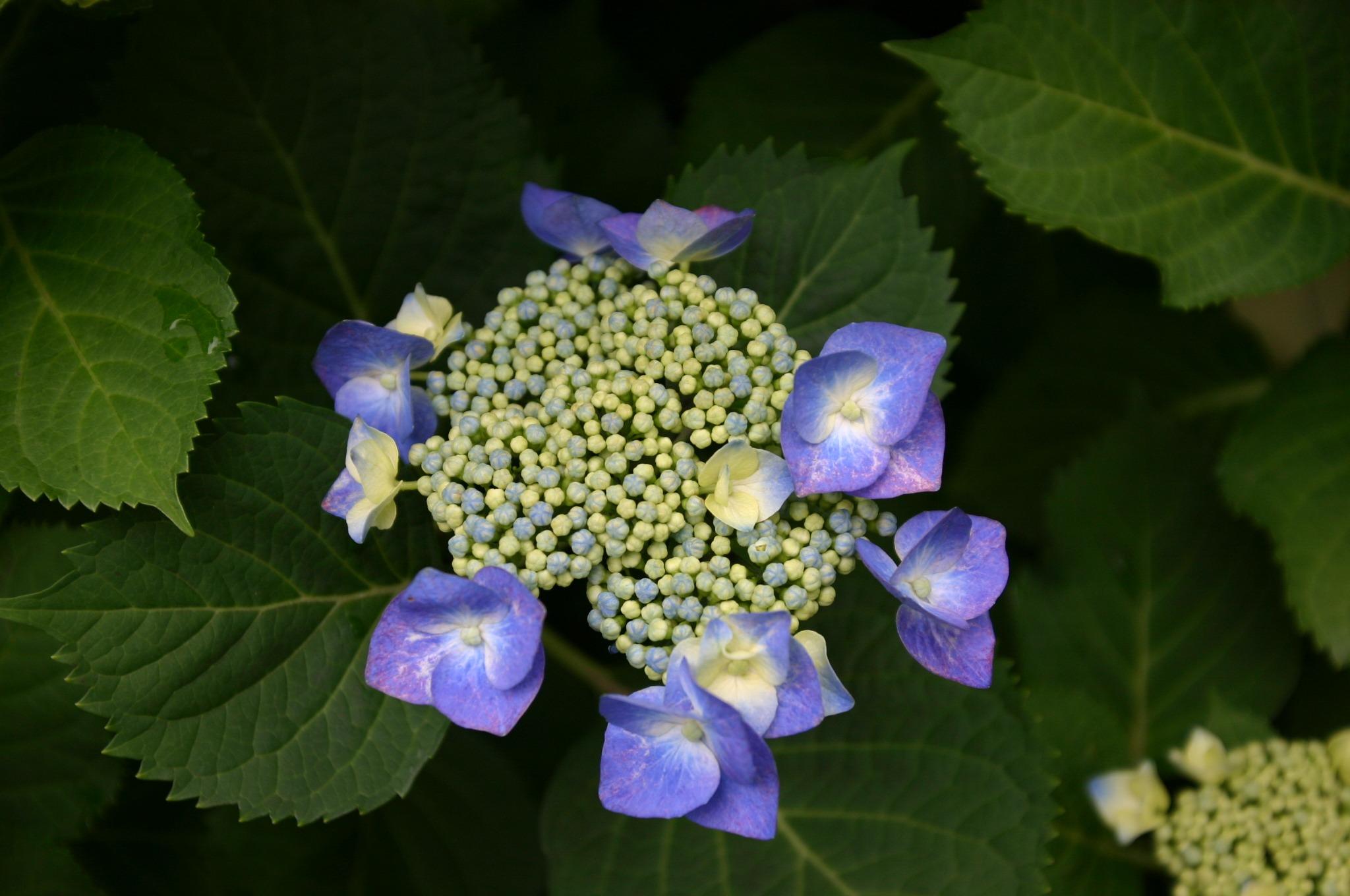 周りに咲くアジサイの花