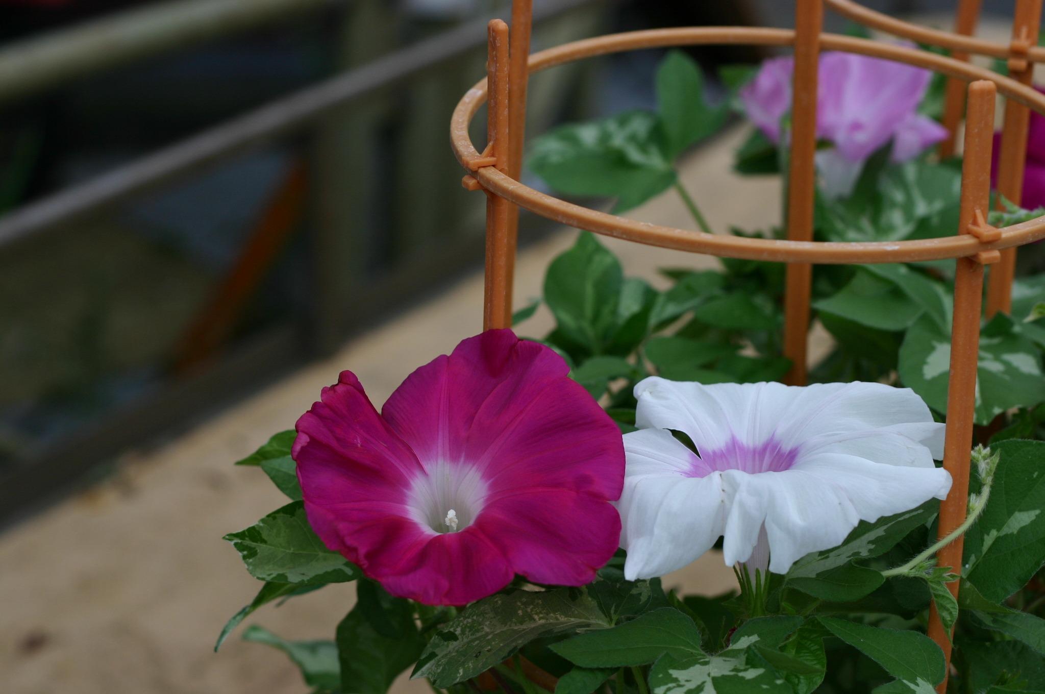 きれいに咲くアサガオの花