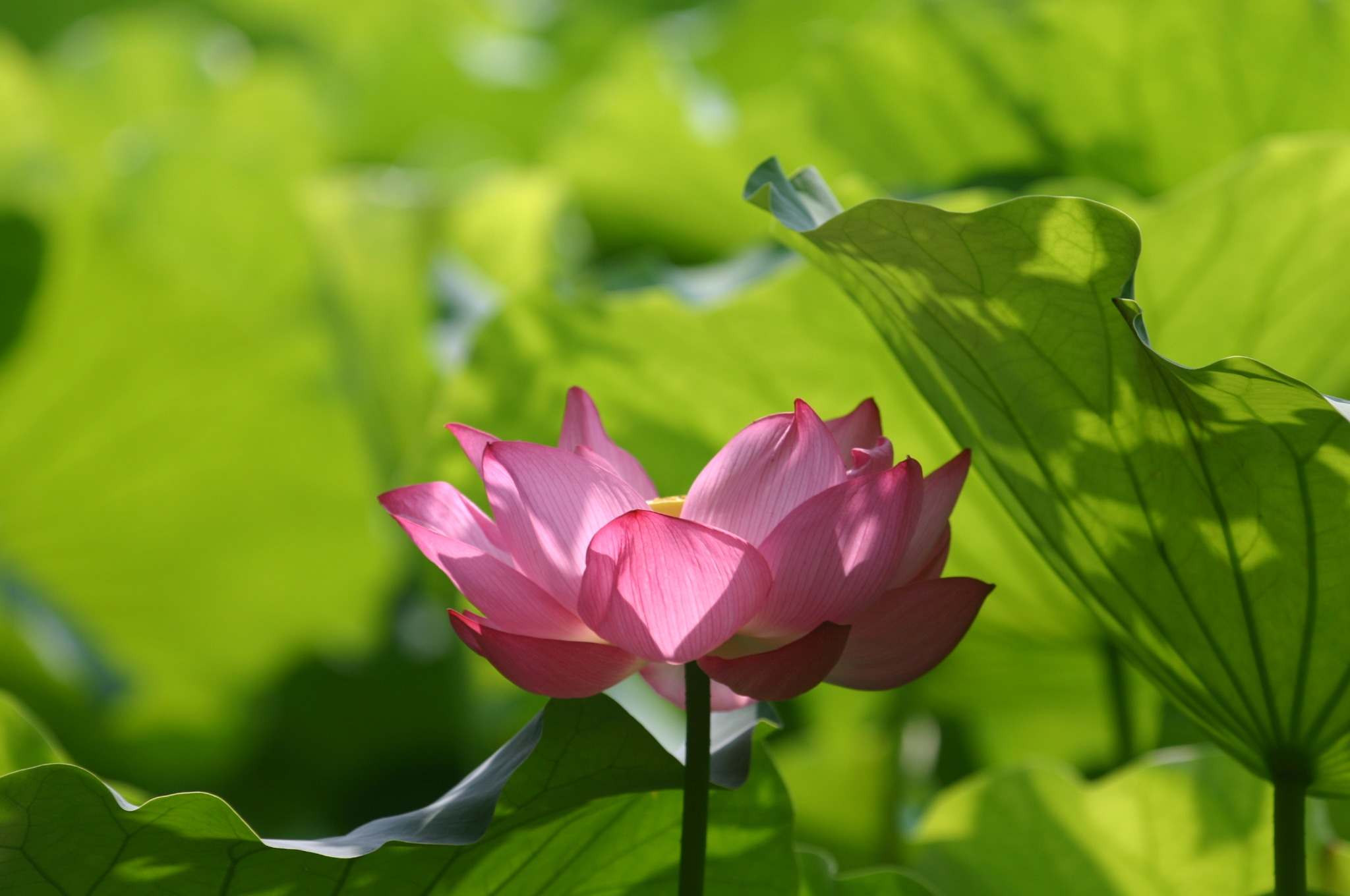 ハスの花が咲く