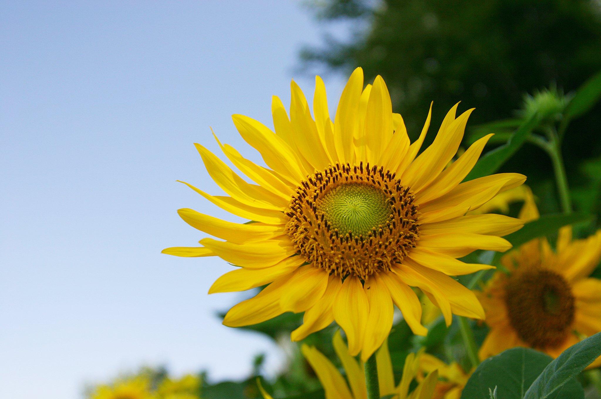 夏に咲くヒマワリの花