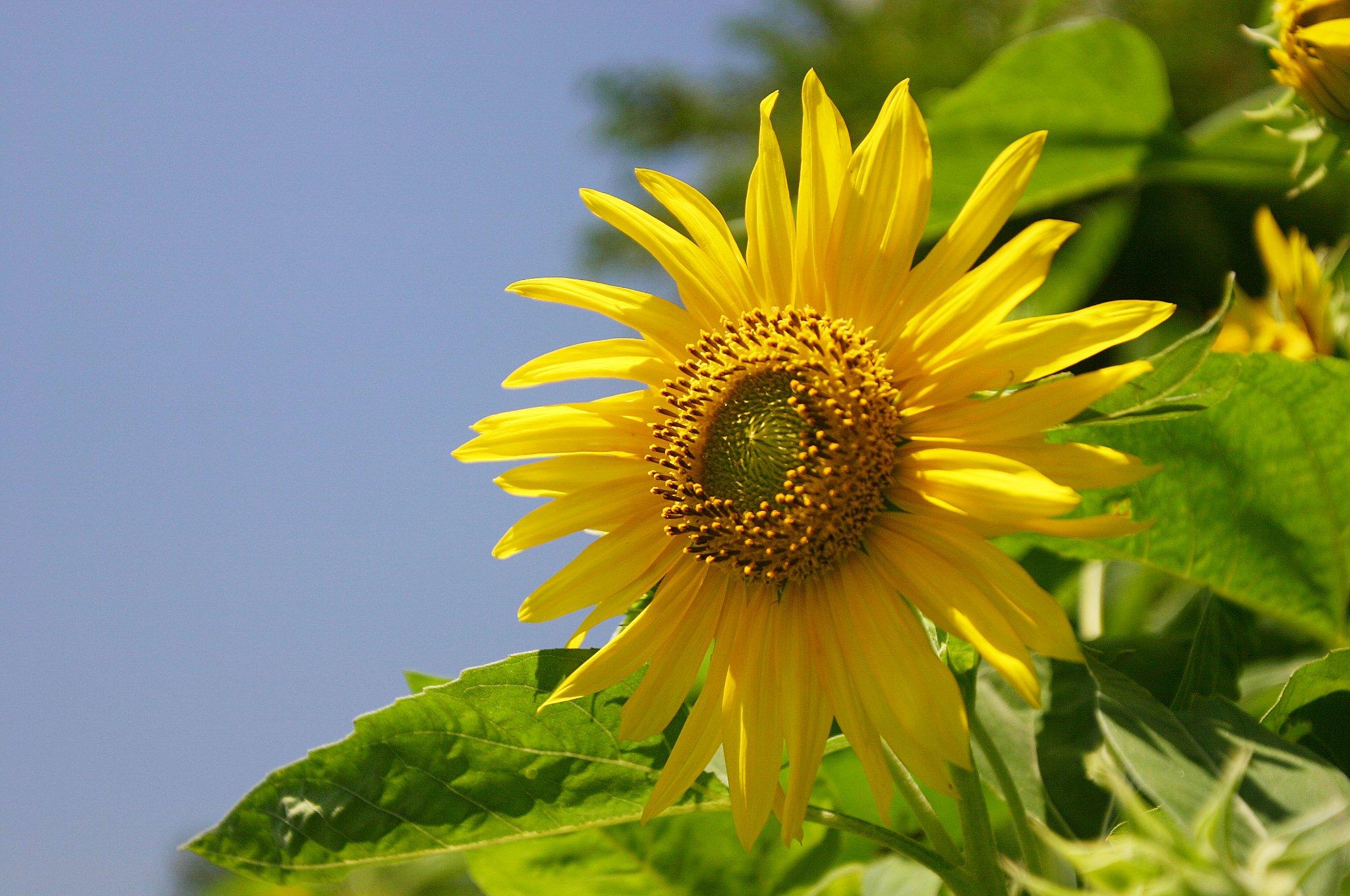 気温33度、向日葵は元気に
