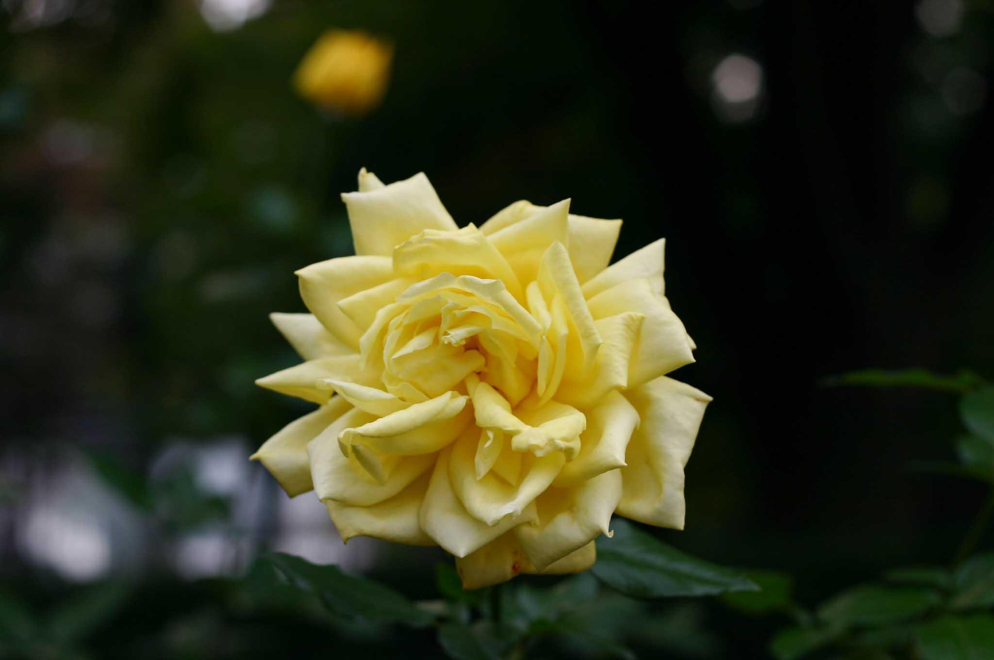 薔薇の花、秋月