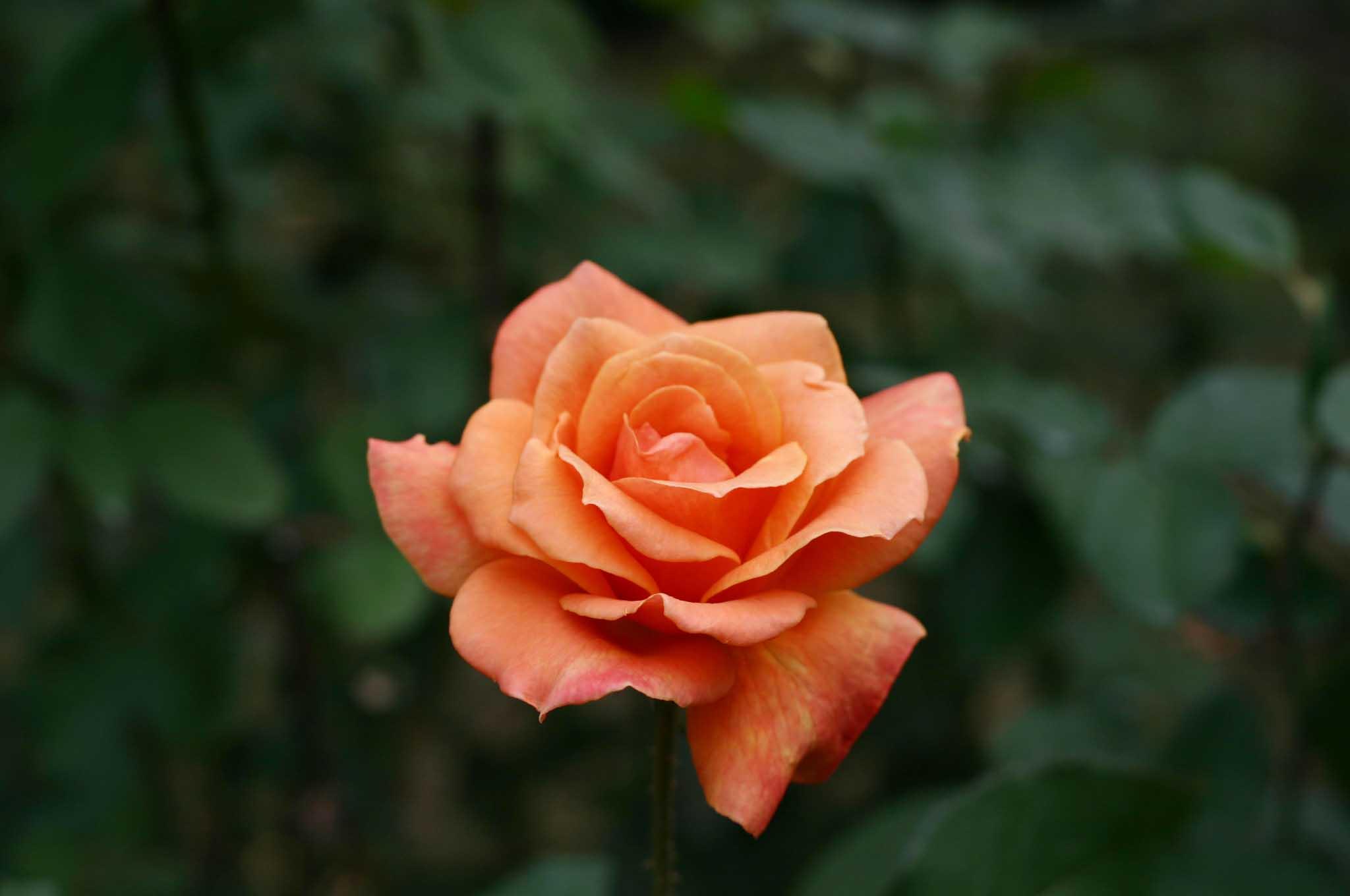 ジッフェという品種のバラ