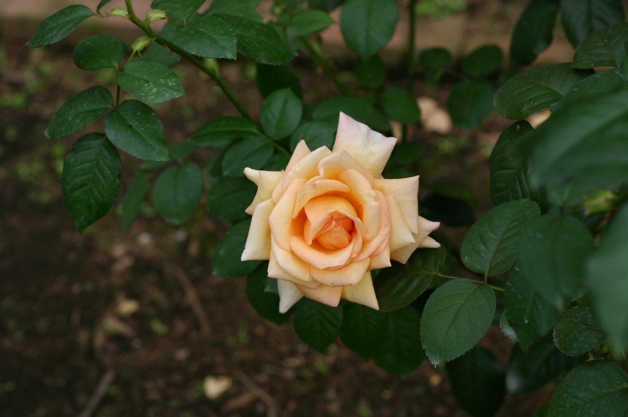 ジルベール ベコーというバラ