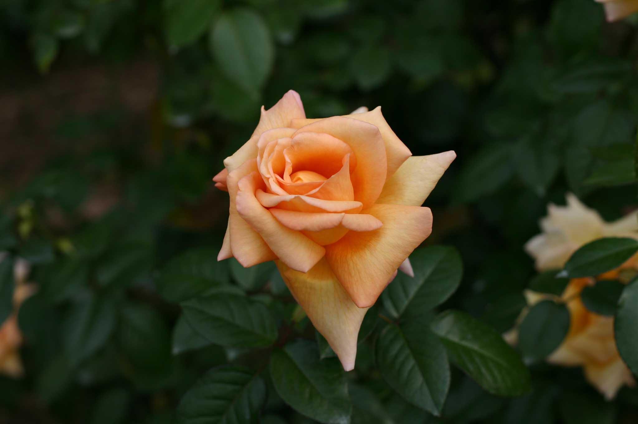 花壇に植えられていた薔薇の花