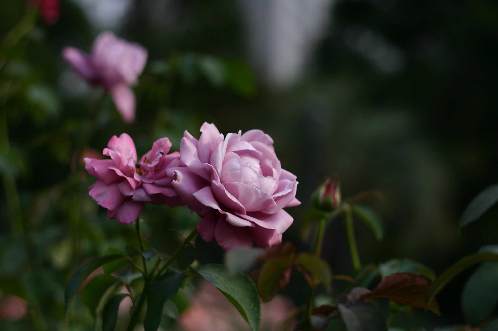 シャルル ドゥ ゴールドというバラ