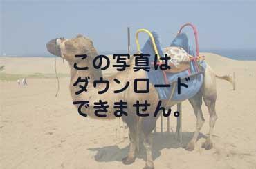 鳥取砂丘にいたラクダ