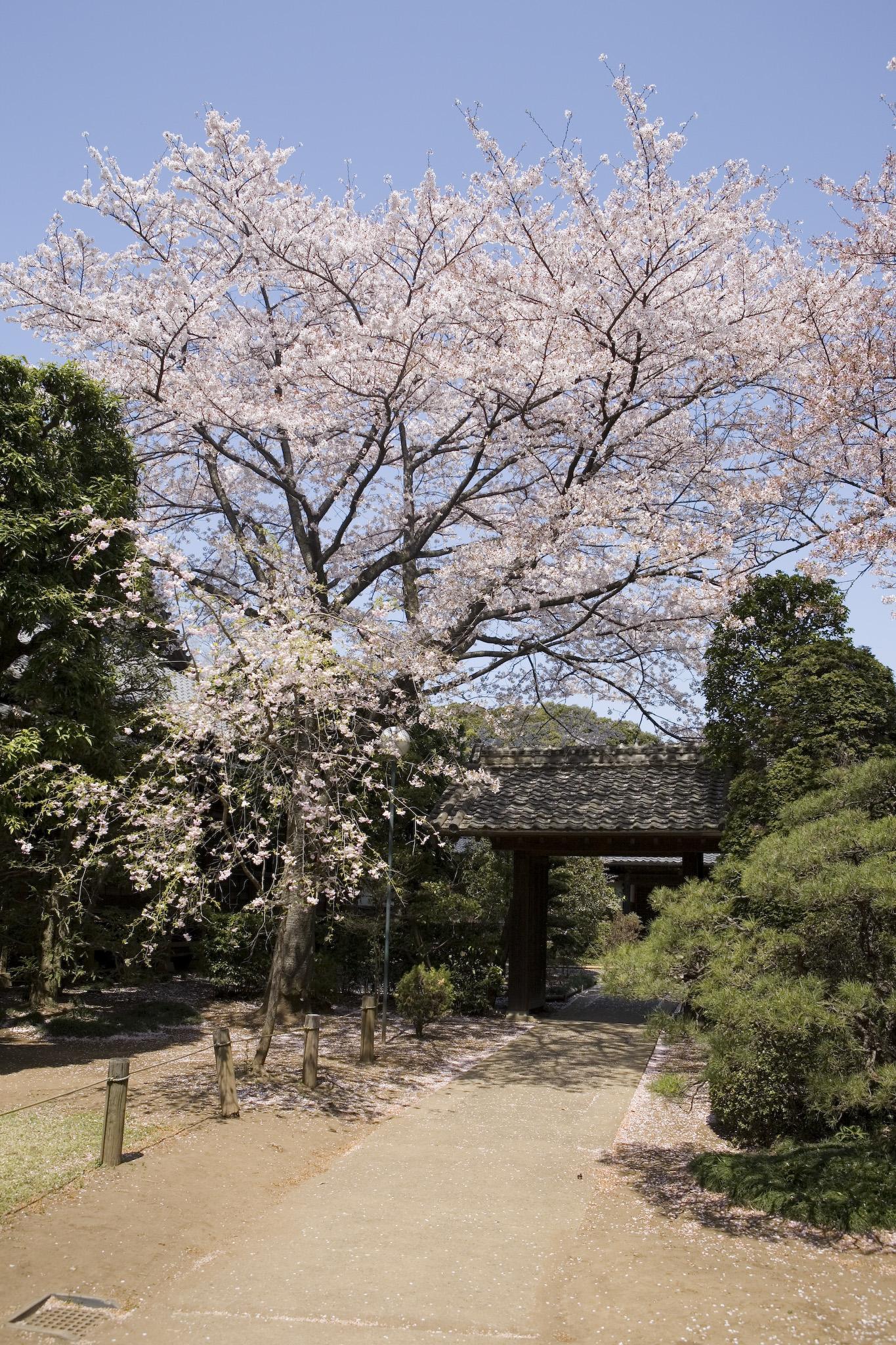 桜咲く清水公園