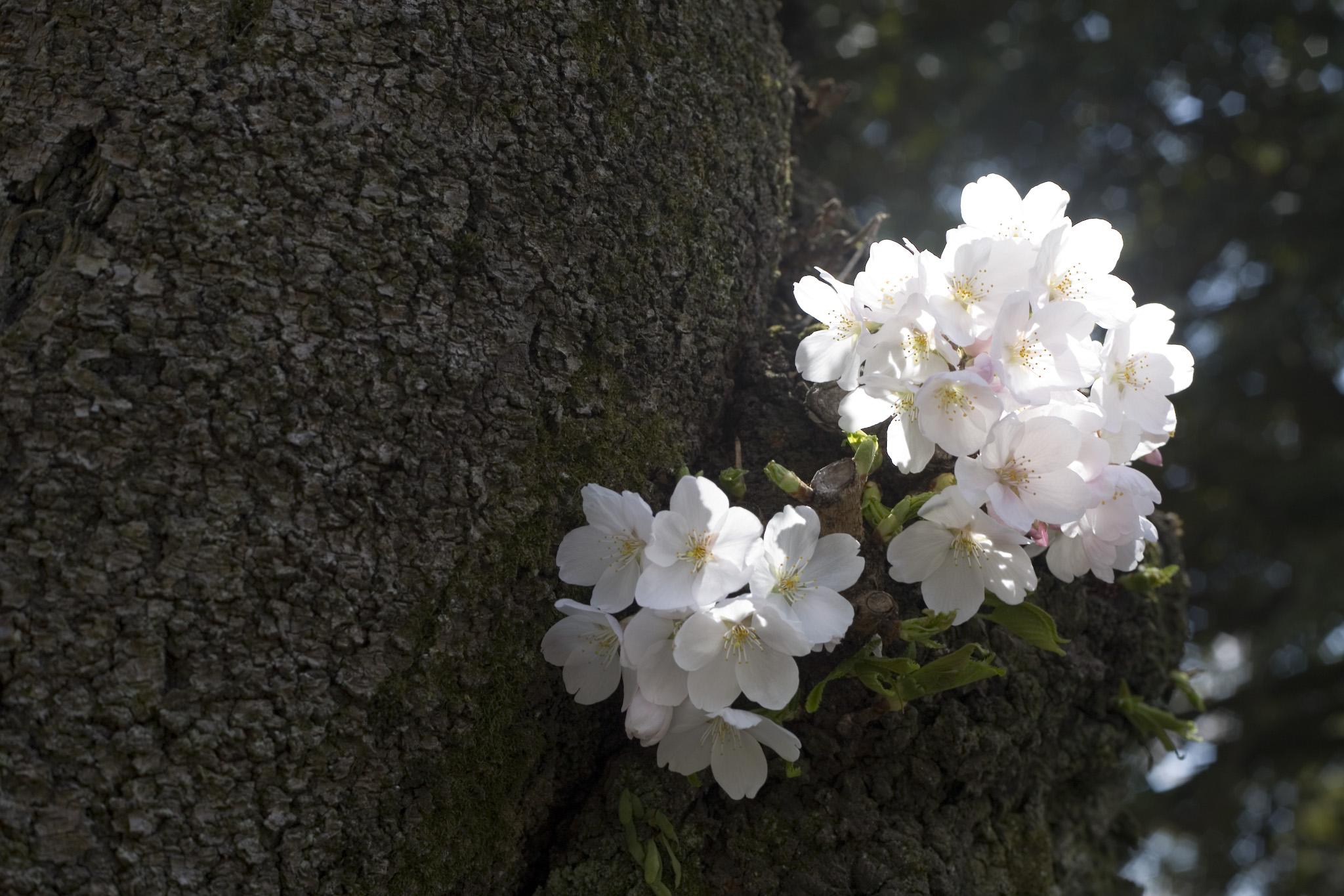 木の幹から桜が