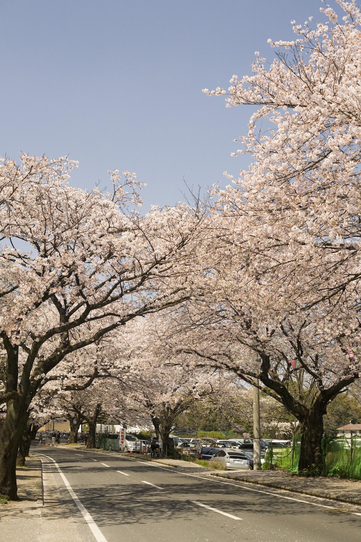 桜が咲いていた清水公園脇の道路