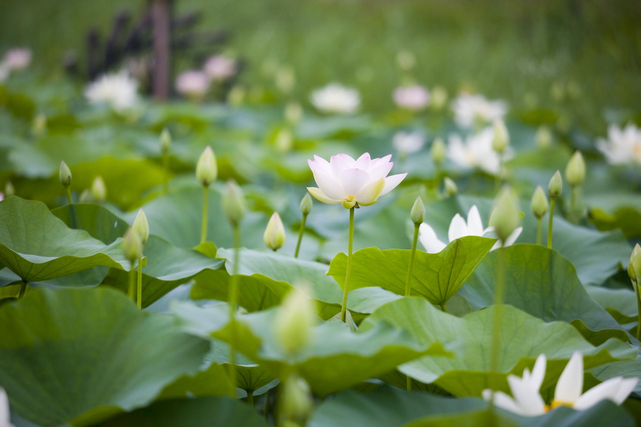 伸びるハスの花