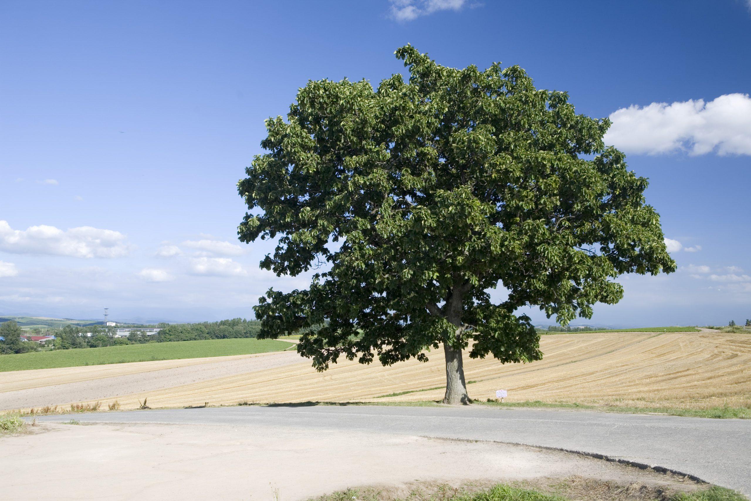 角度を変えてセブンスターの木