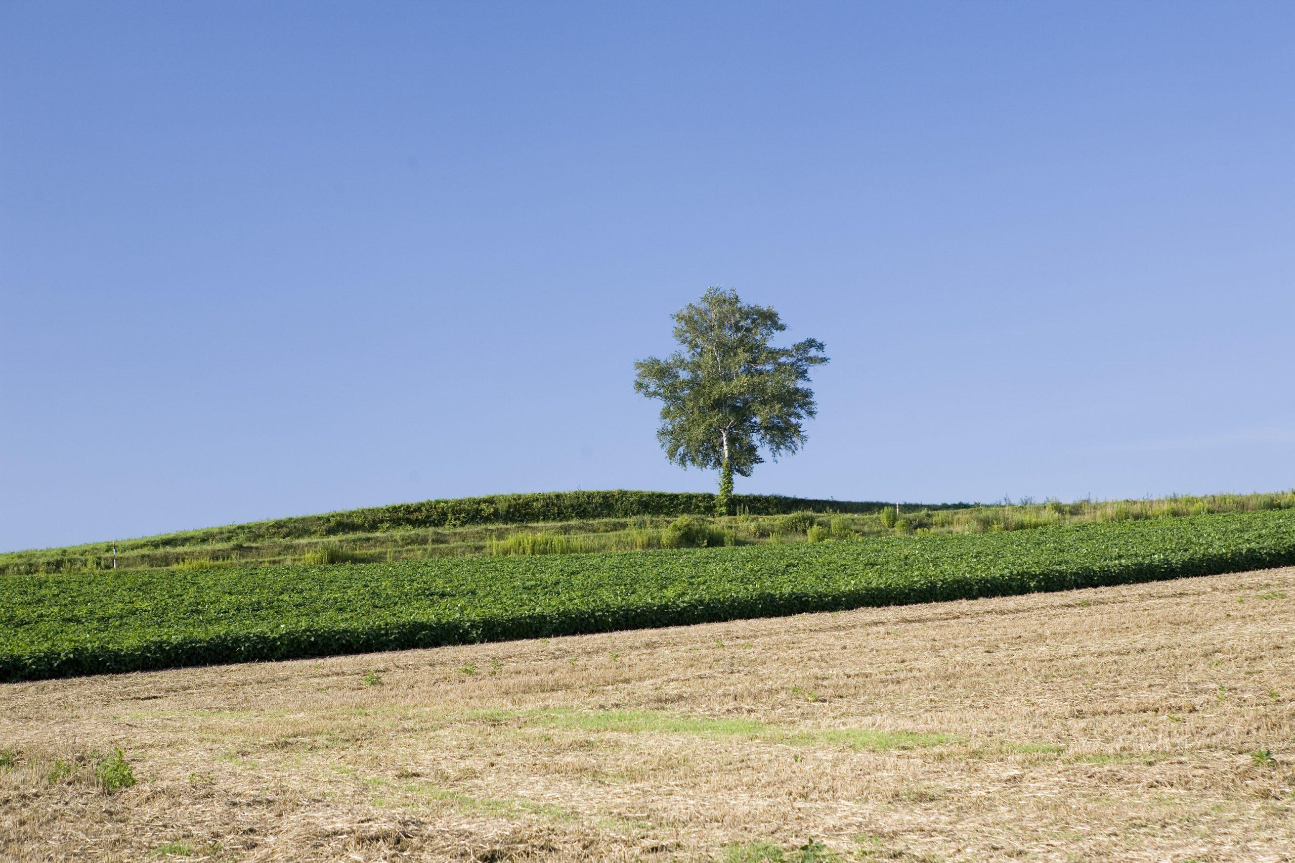畑の真ん中の木