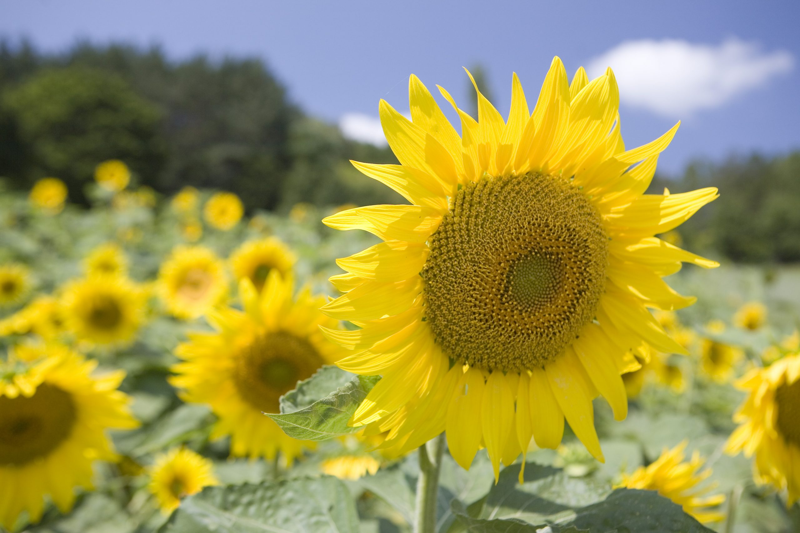 富良野の向日葵