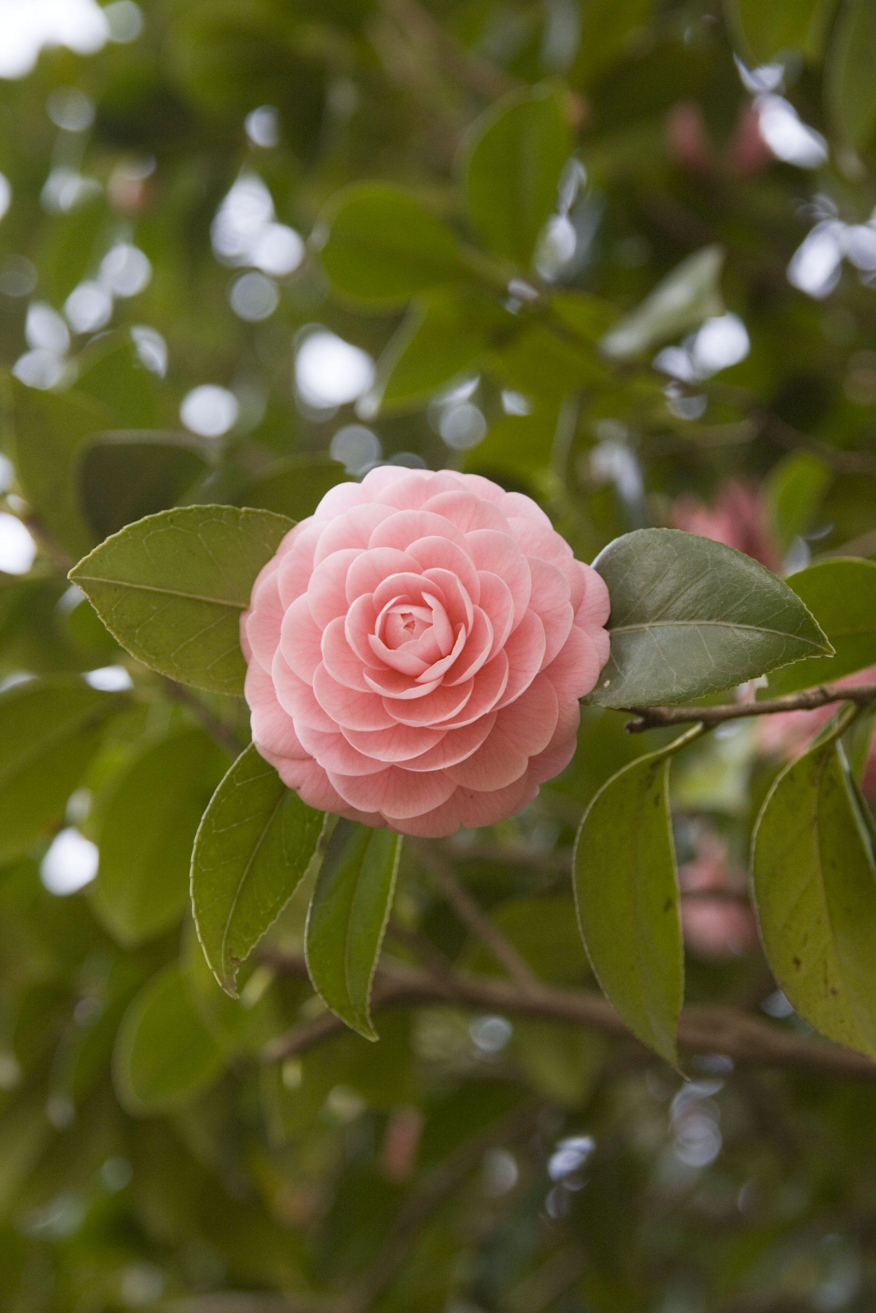 ピンク色のツバキの花
