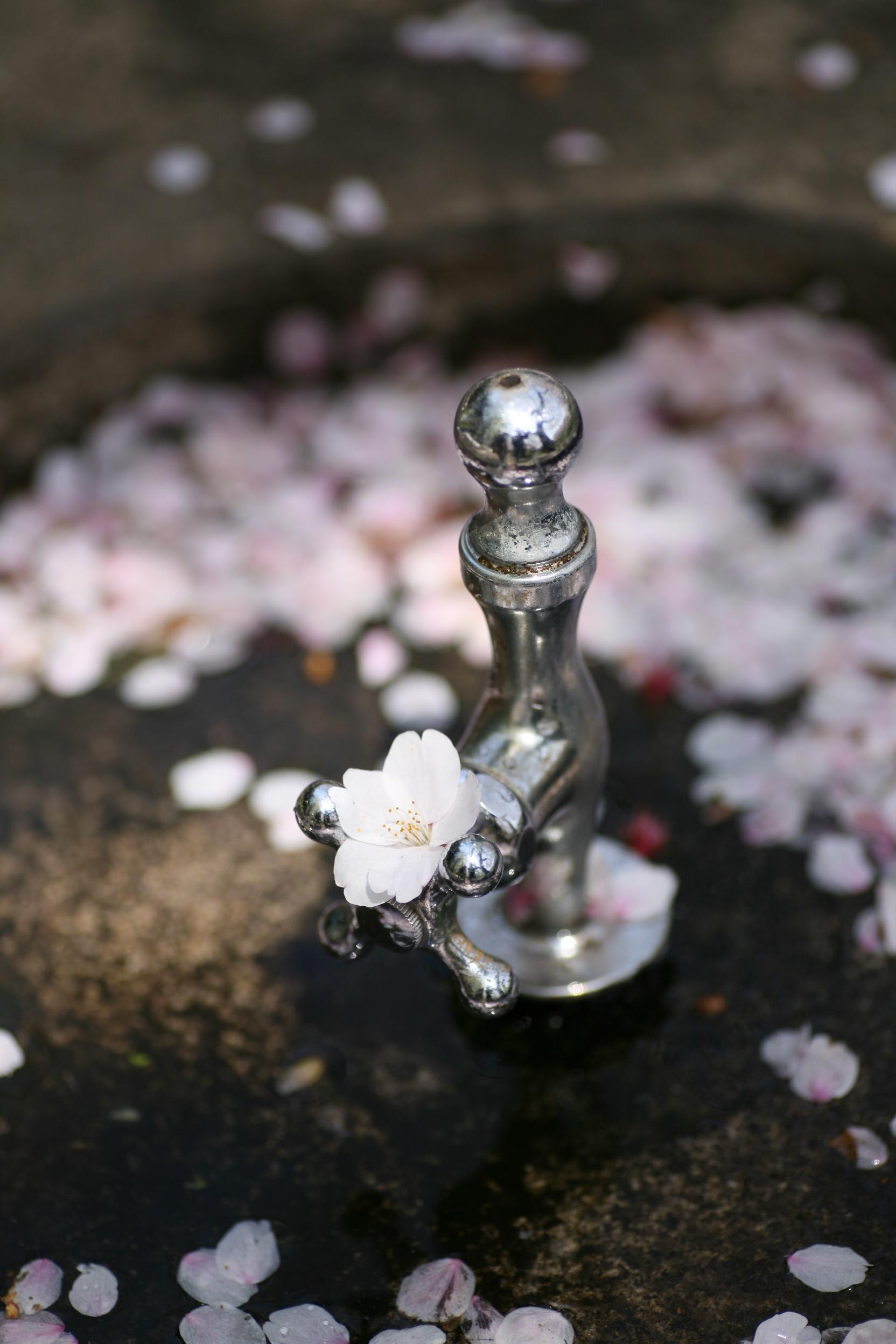 水のみ場と桜