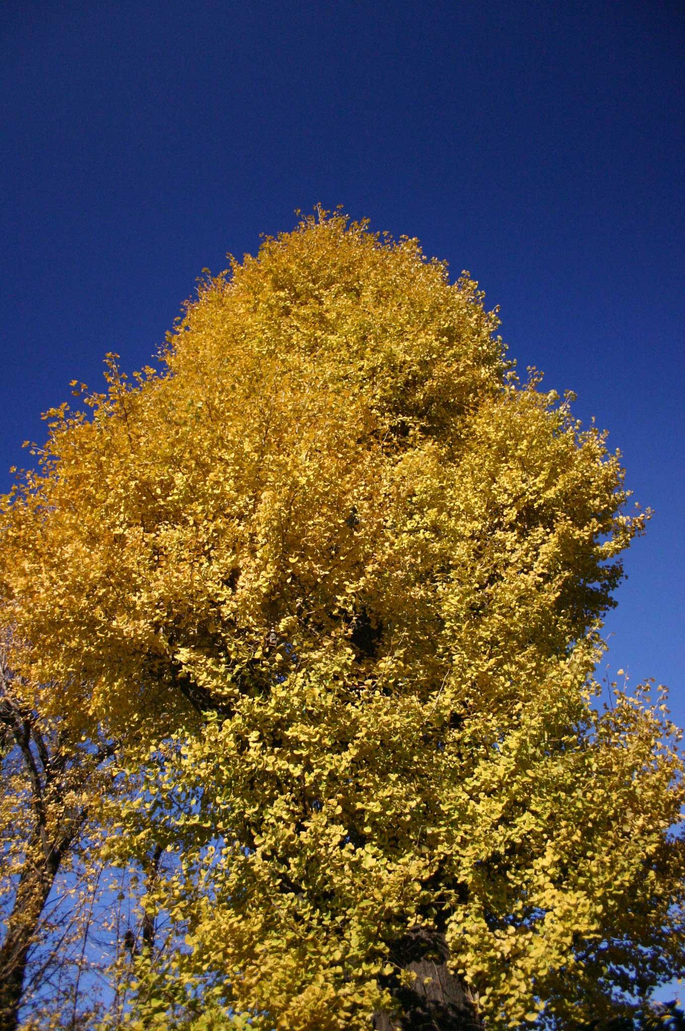 北の丸公園のイチョウの木