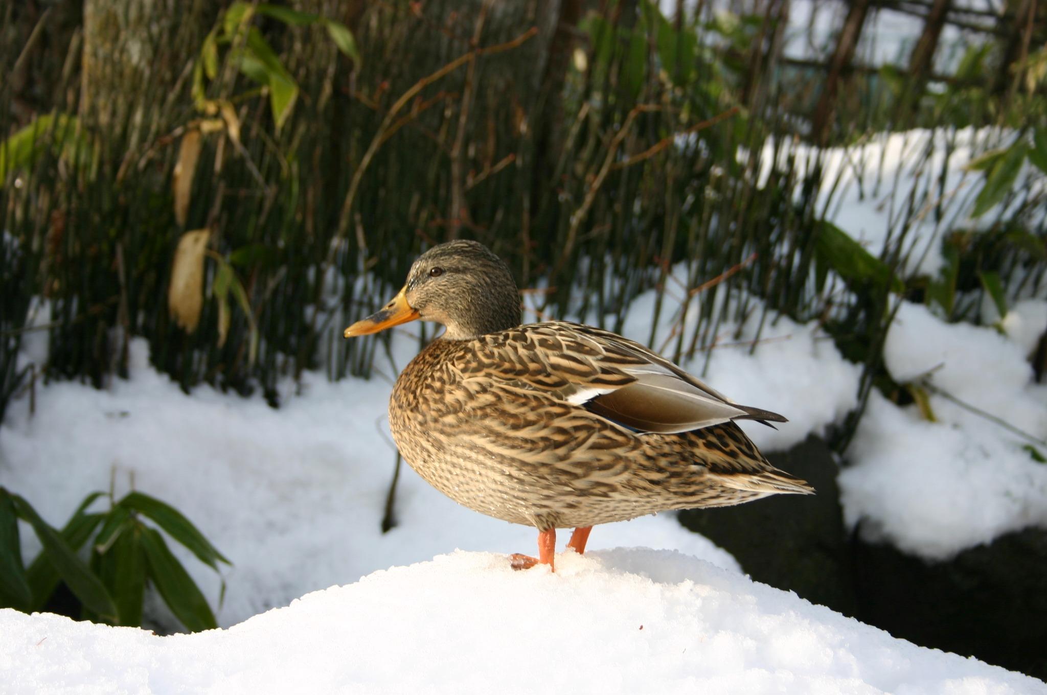雪の中の鴨 その1