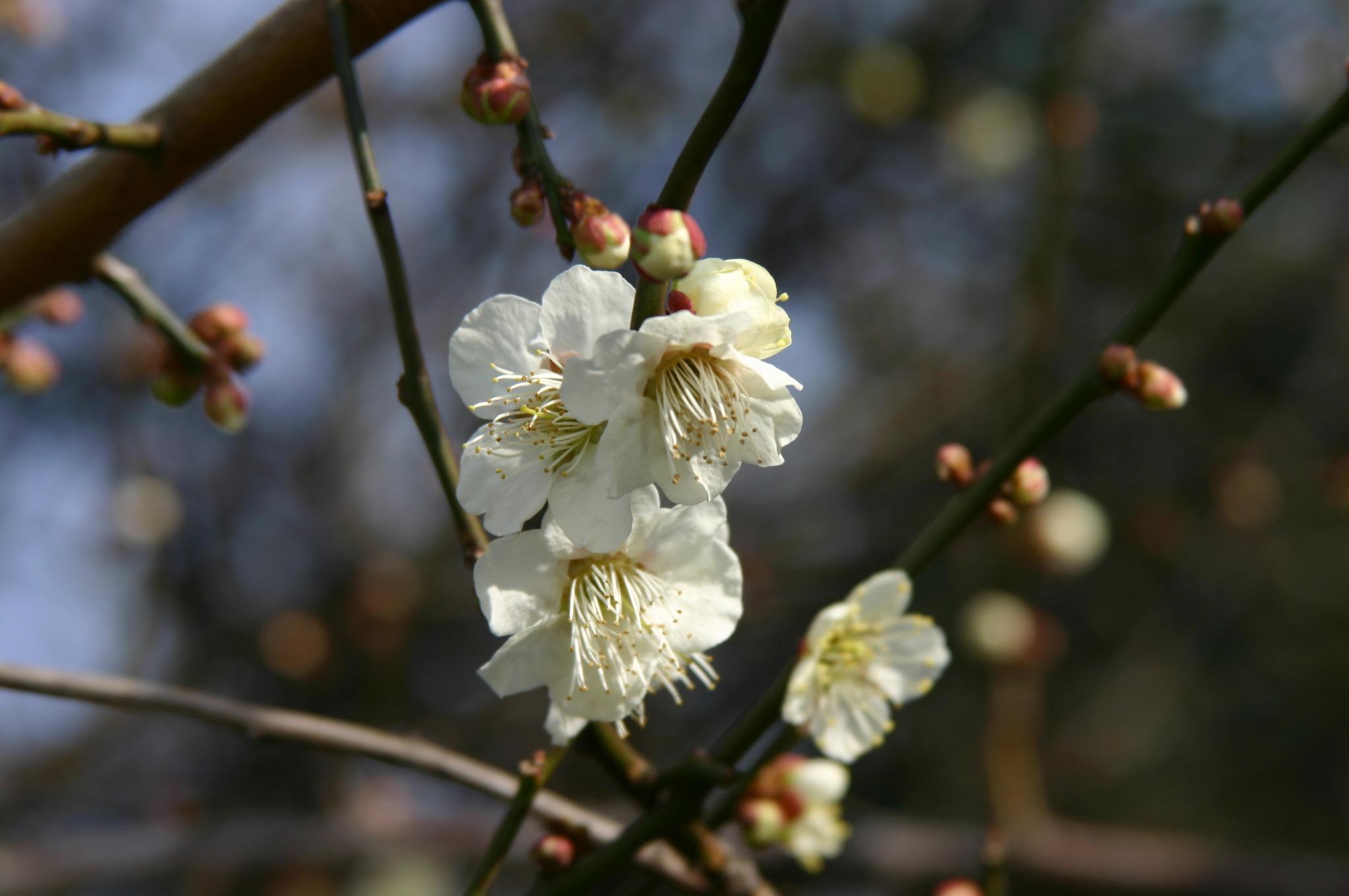 春よ、来い。梅の花