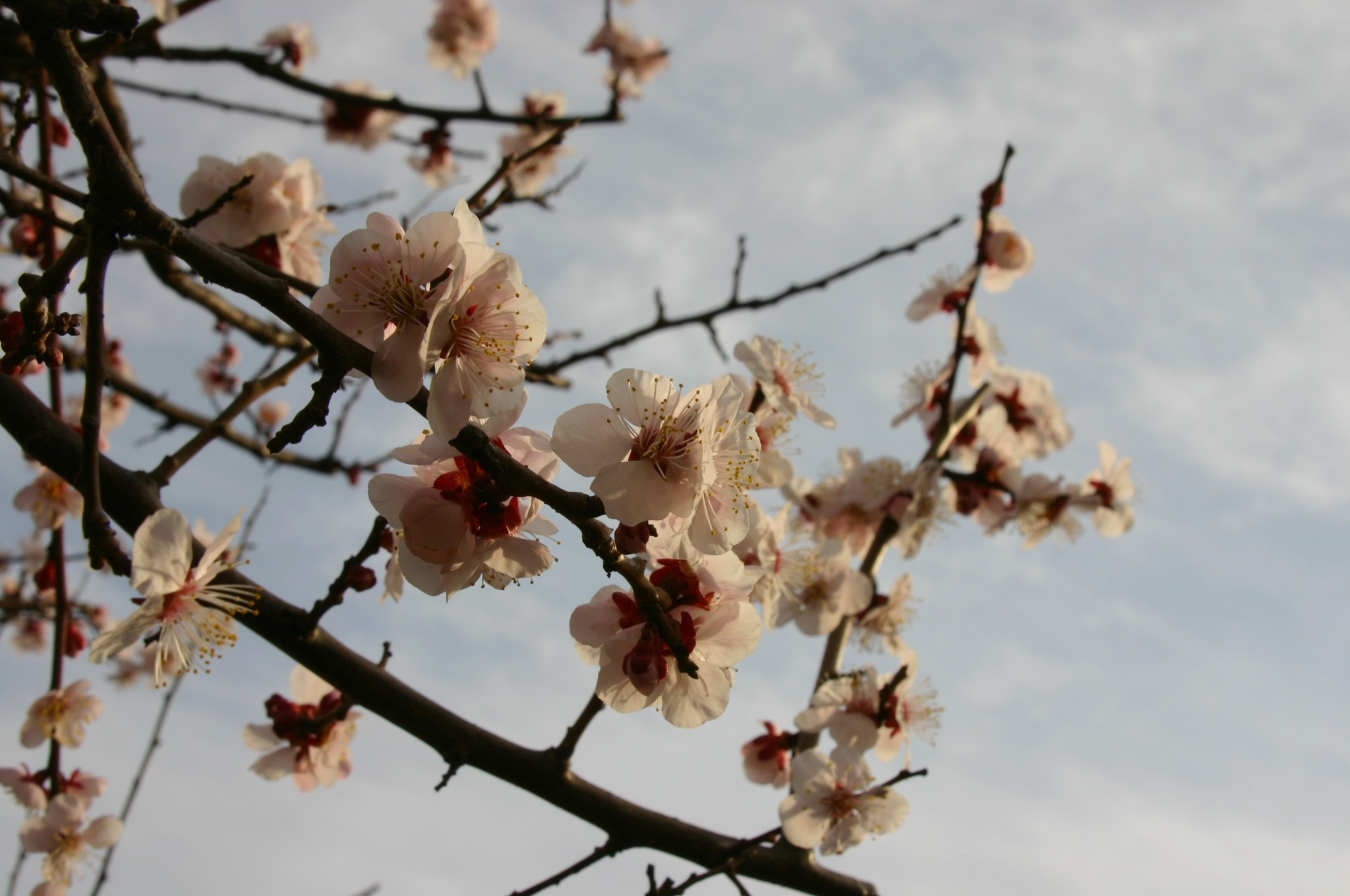 郷土の森で梅の花を撮影
