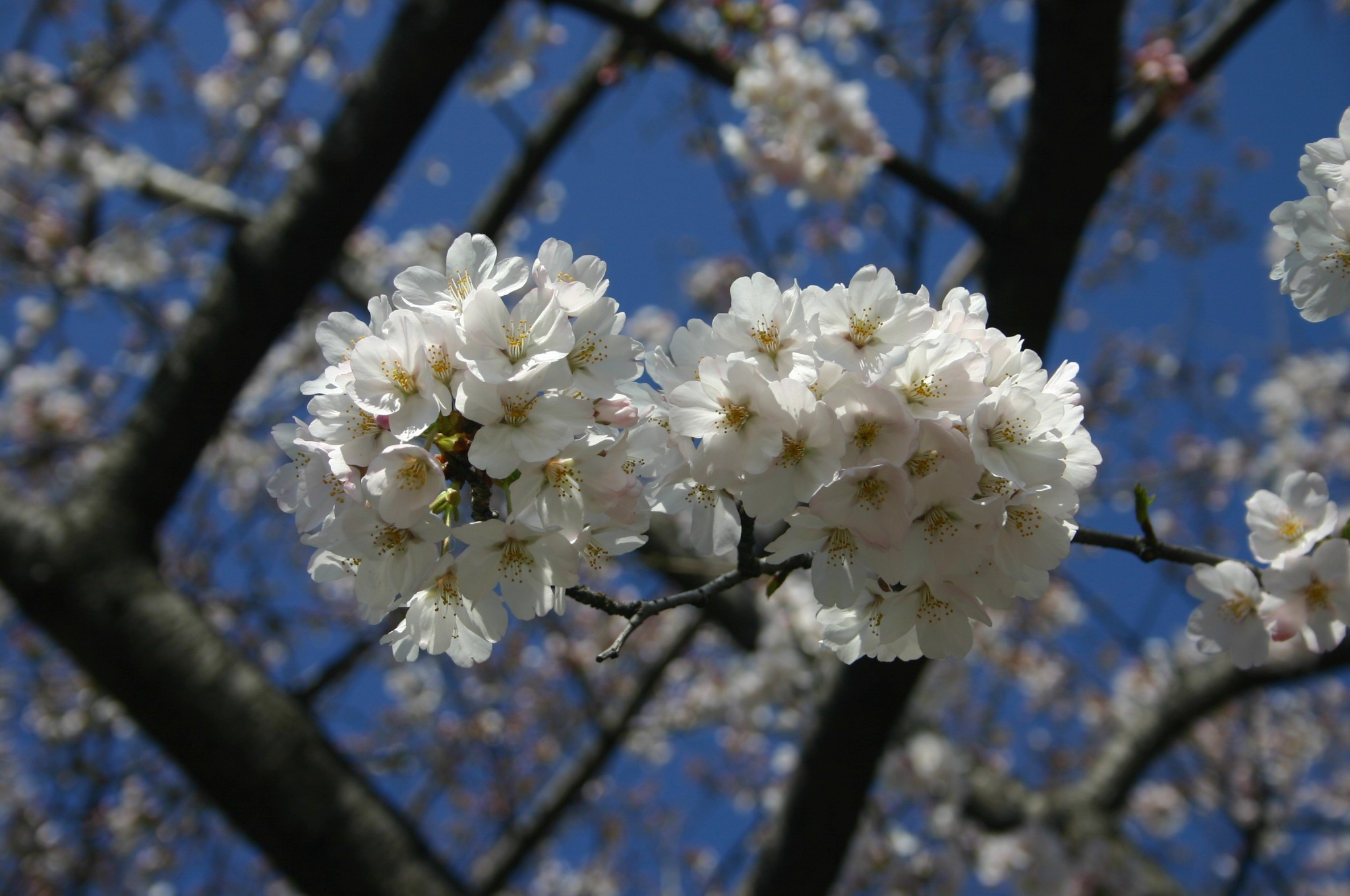 上野公園の桜をアップ