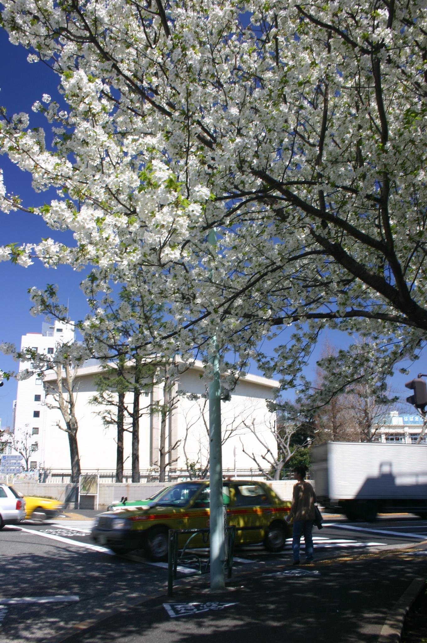 原宿付近の交差点の桜