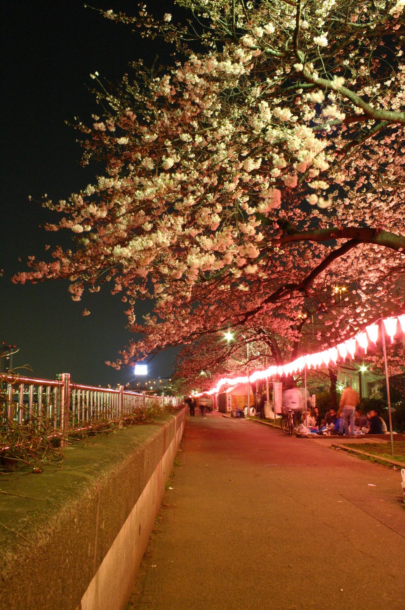隅田川の夜桜の写真