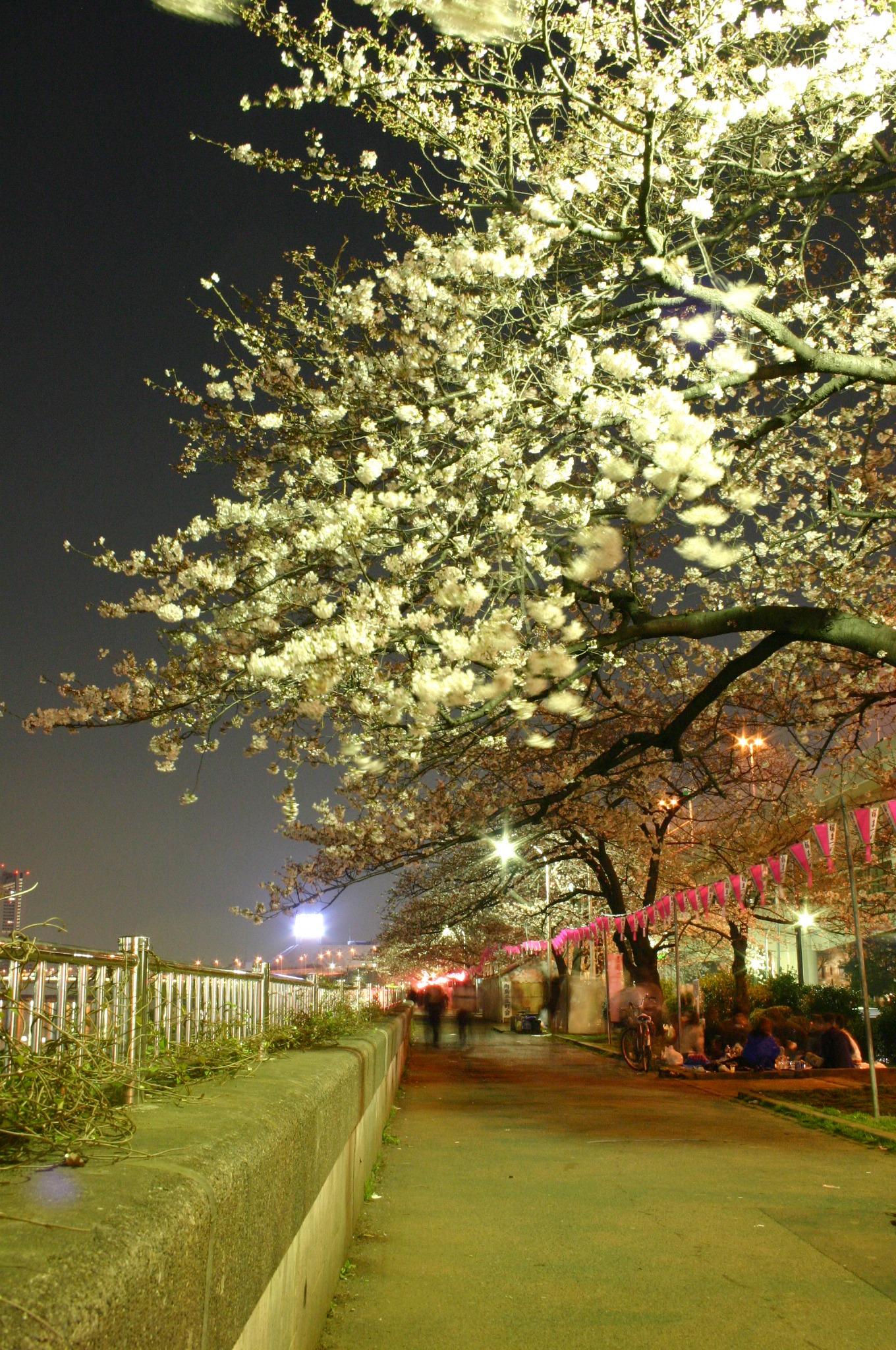 隅田川の夜桜 提灯の電気が消える