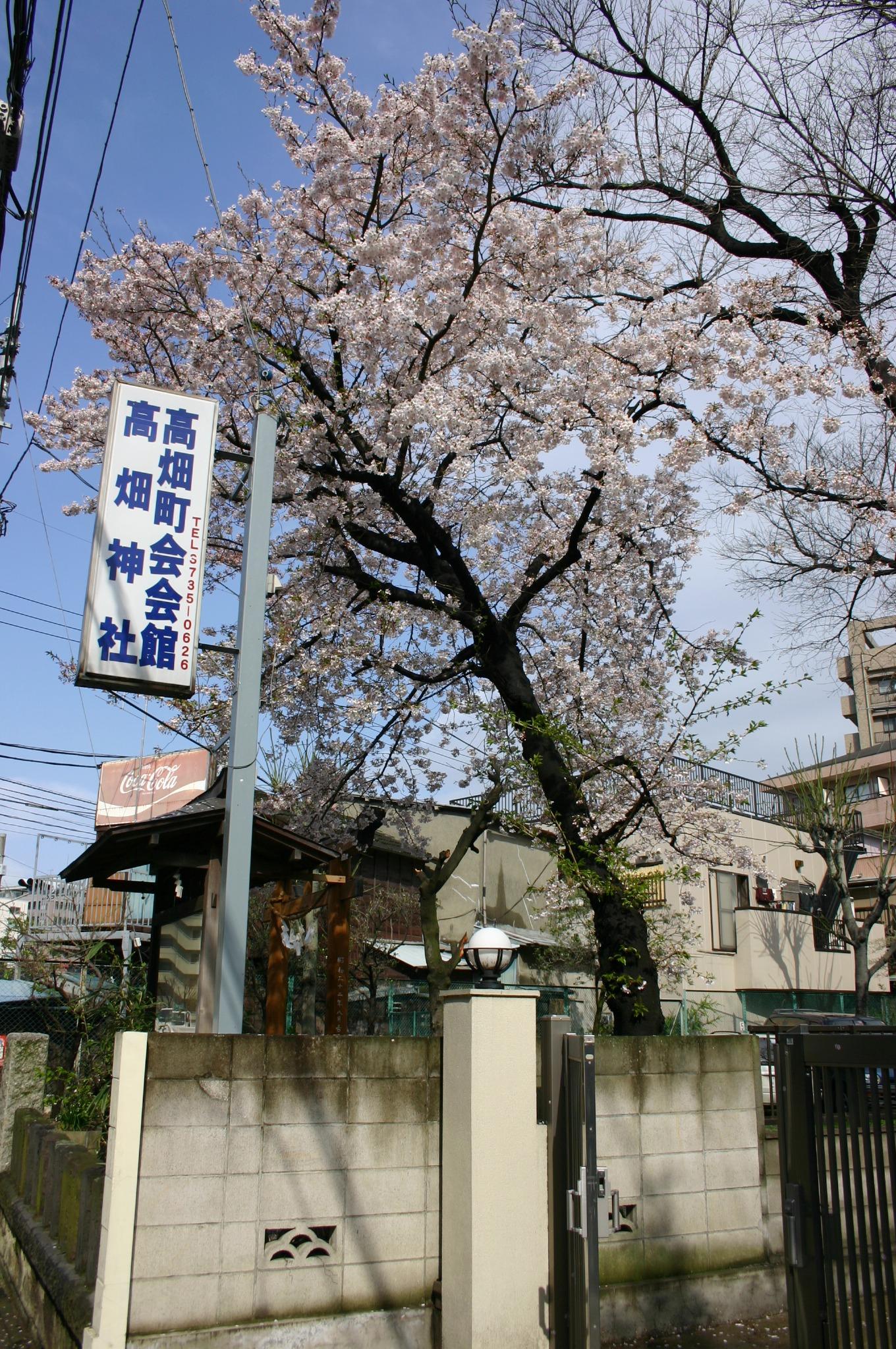 高畑神社の桜