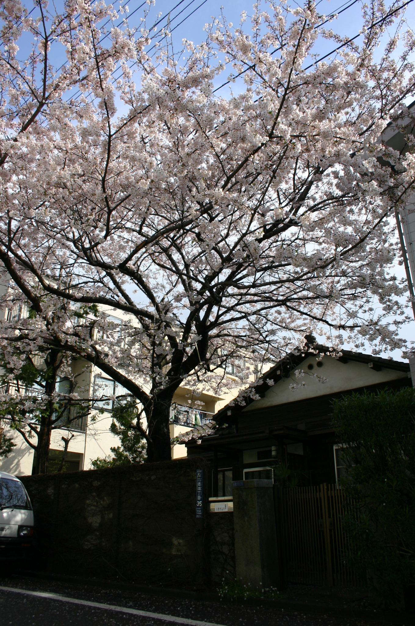 桜をふと撮影