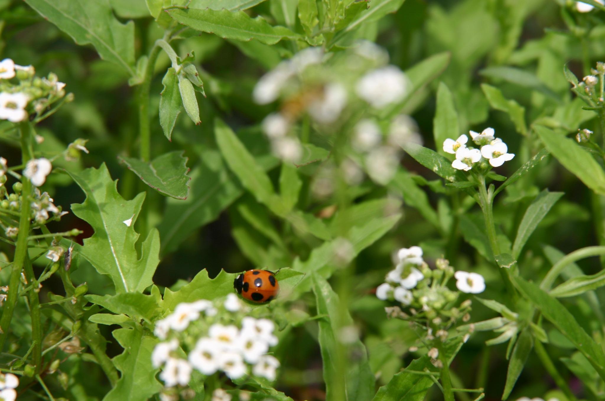 てんとう虫と花