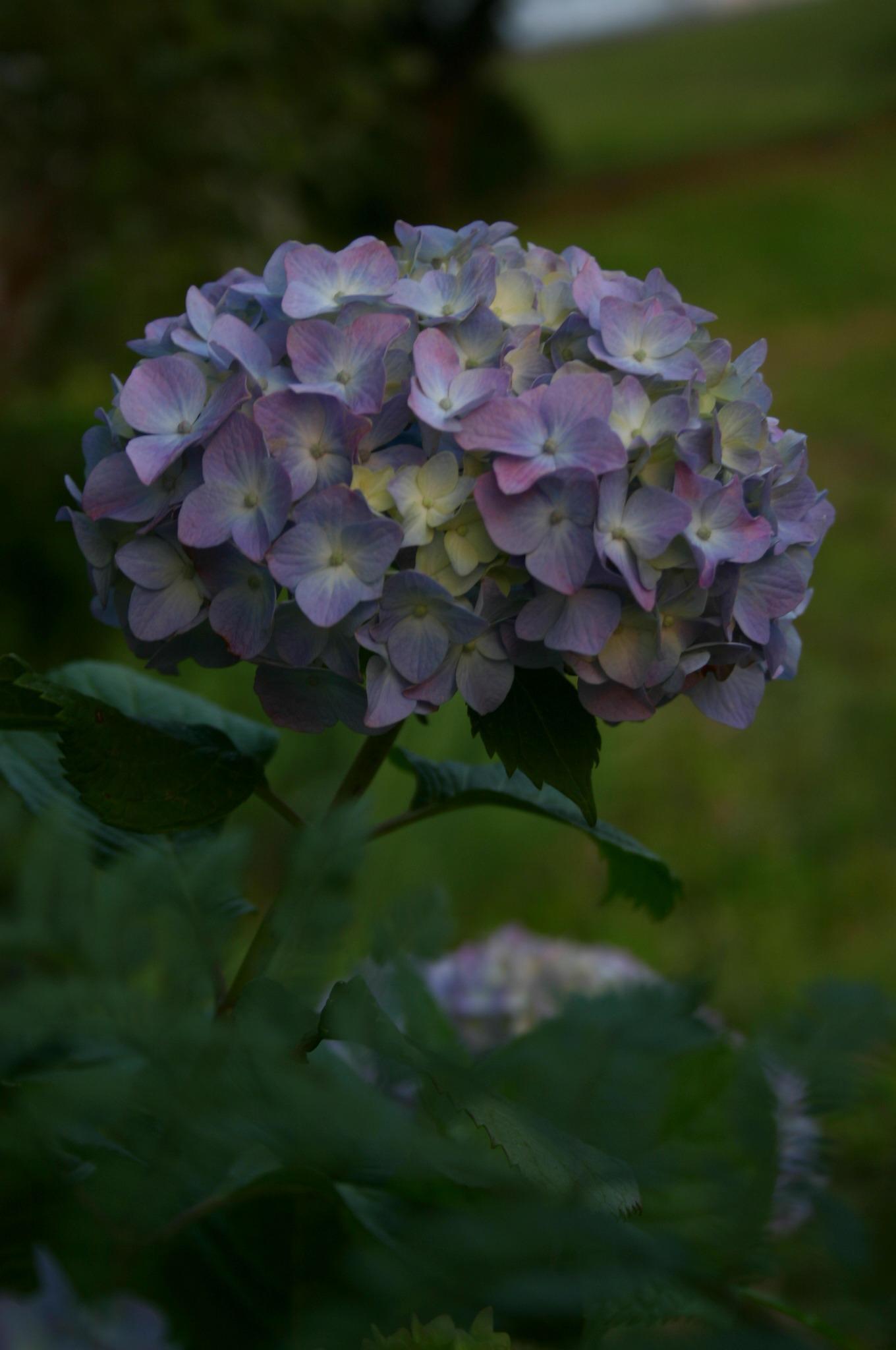 夕暮れ時の紫陽花