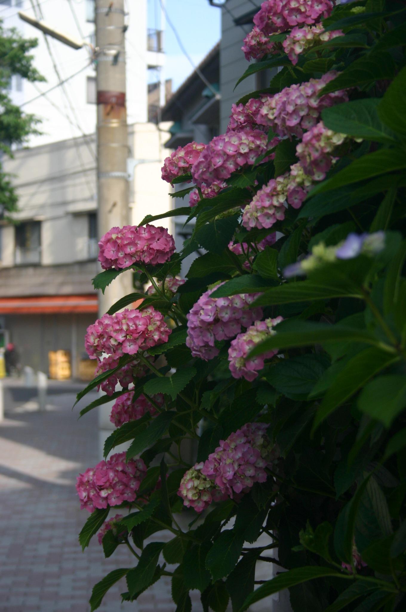 商店街の紫陽花