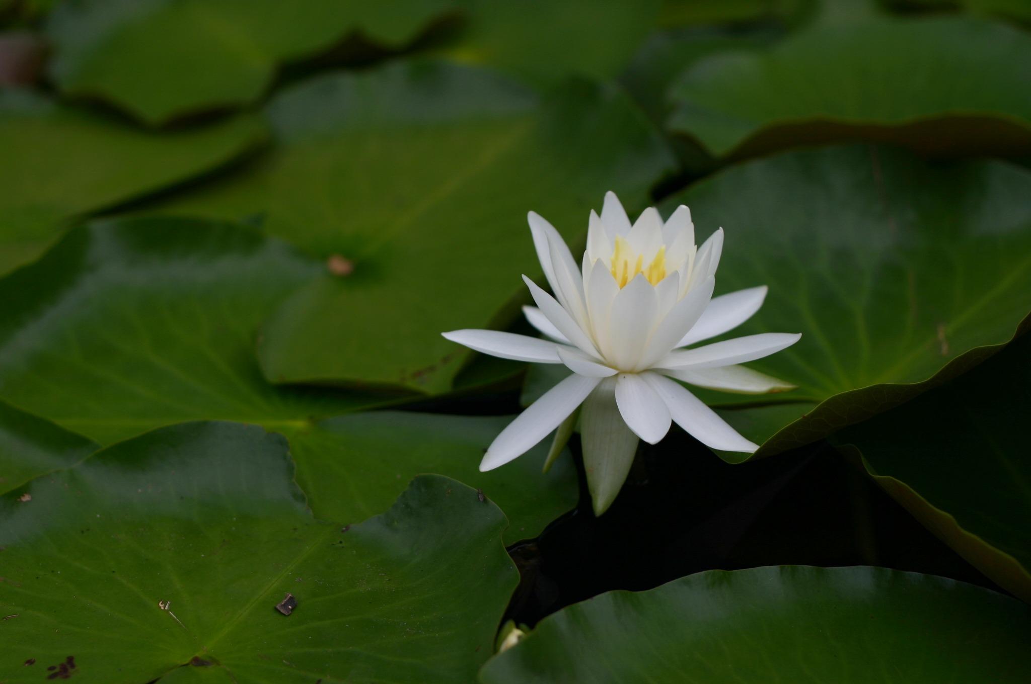水元公園のスイレンの花