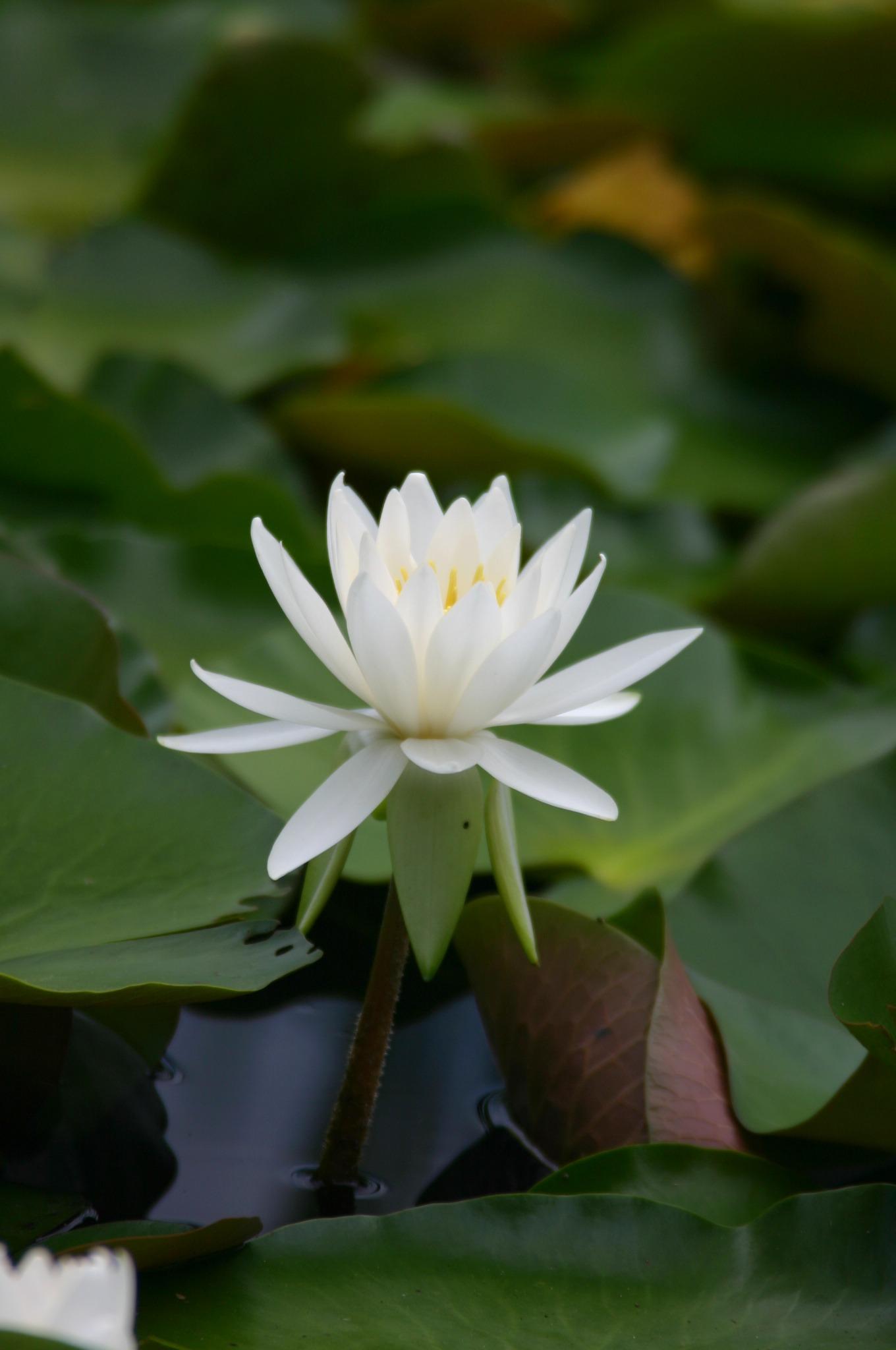 睡蓮の花2