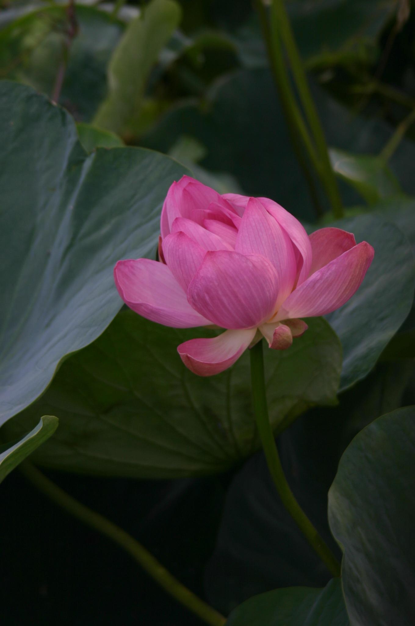 東京都の水元公園のハス