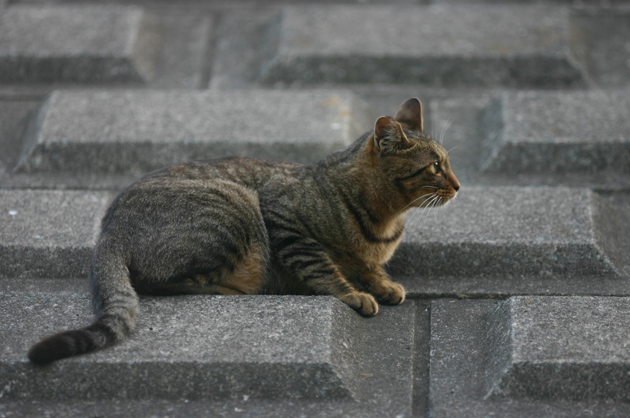 気を取られる猫