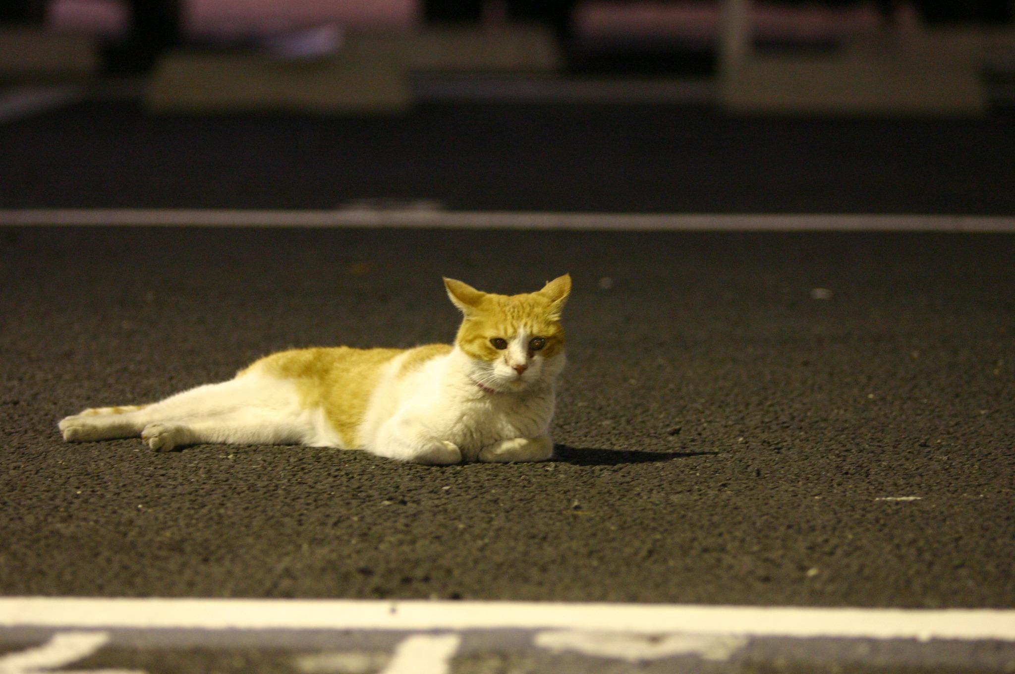 夜中に駐車場に横たわる猫
