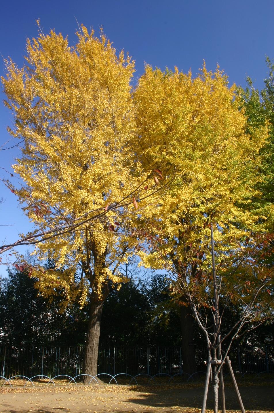 飛鳥山のイチョウの木
