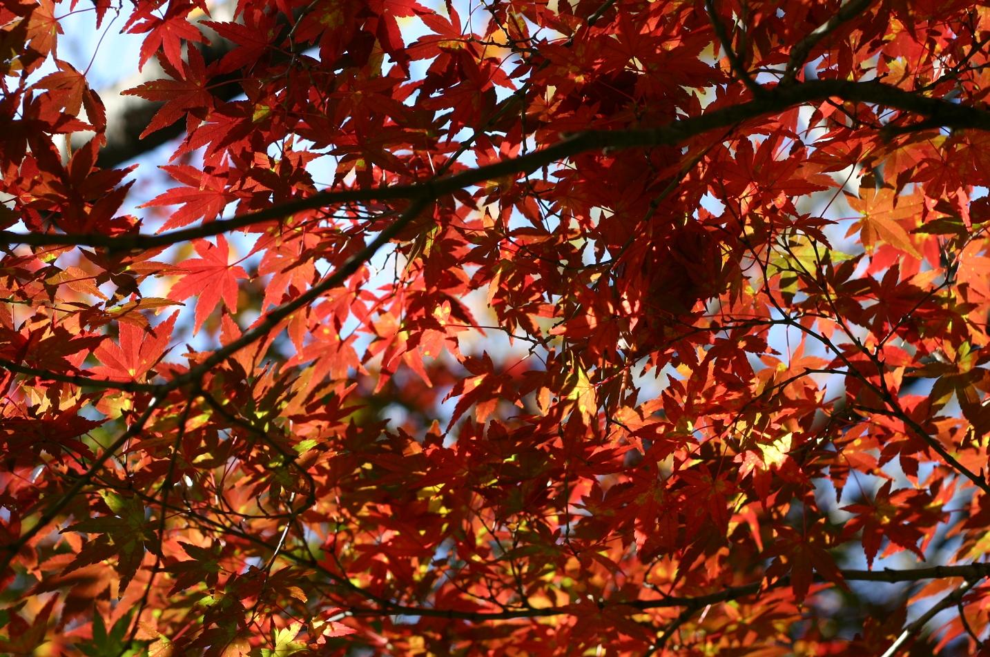 飛鳥山の紅葉