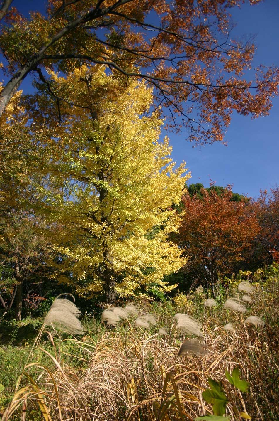 黄色い銀杏の木とススキ