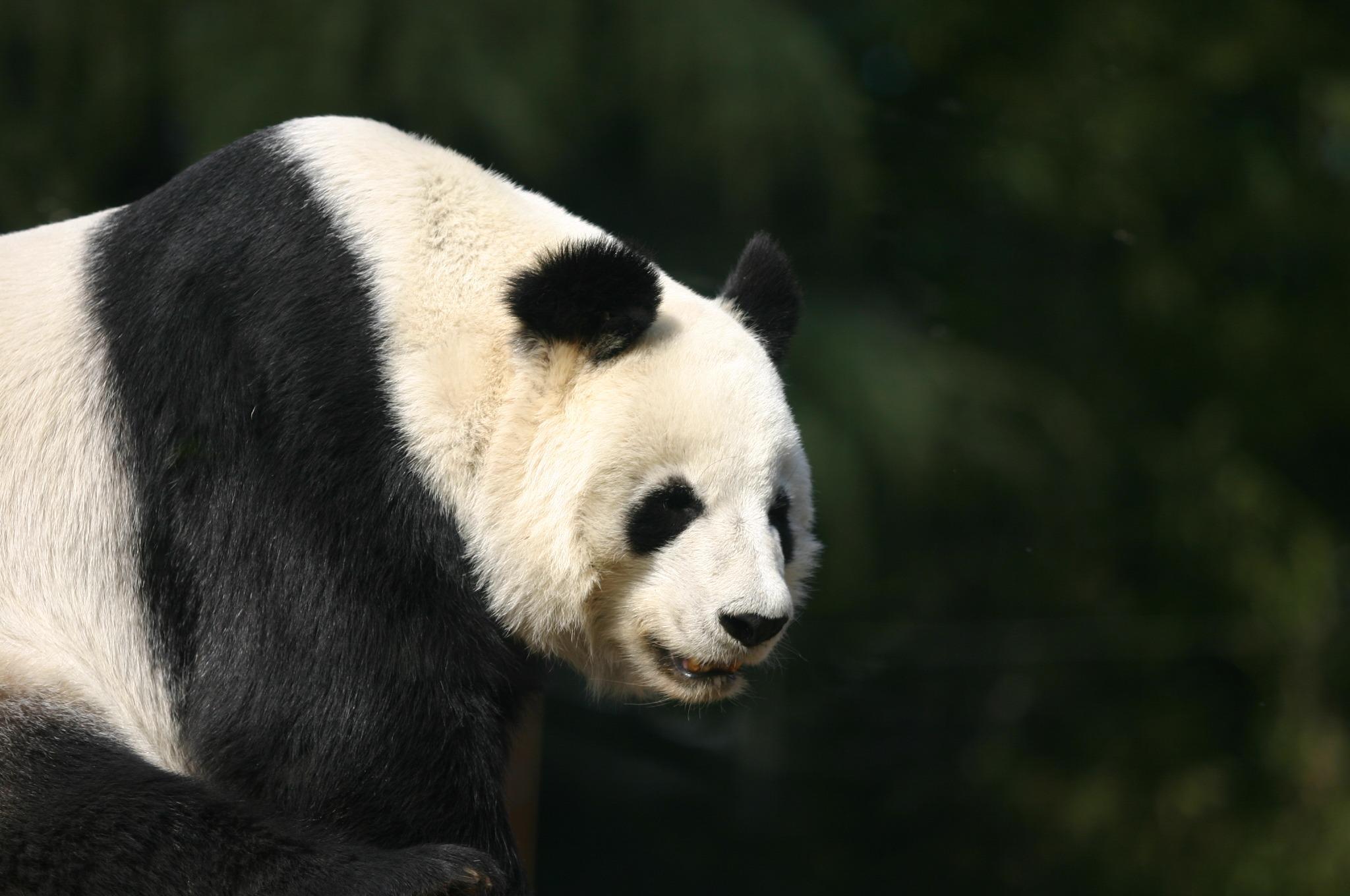 上野動物公園のパンダ