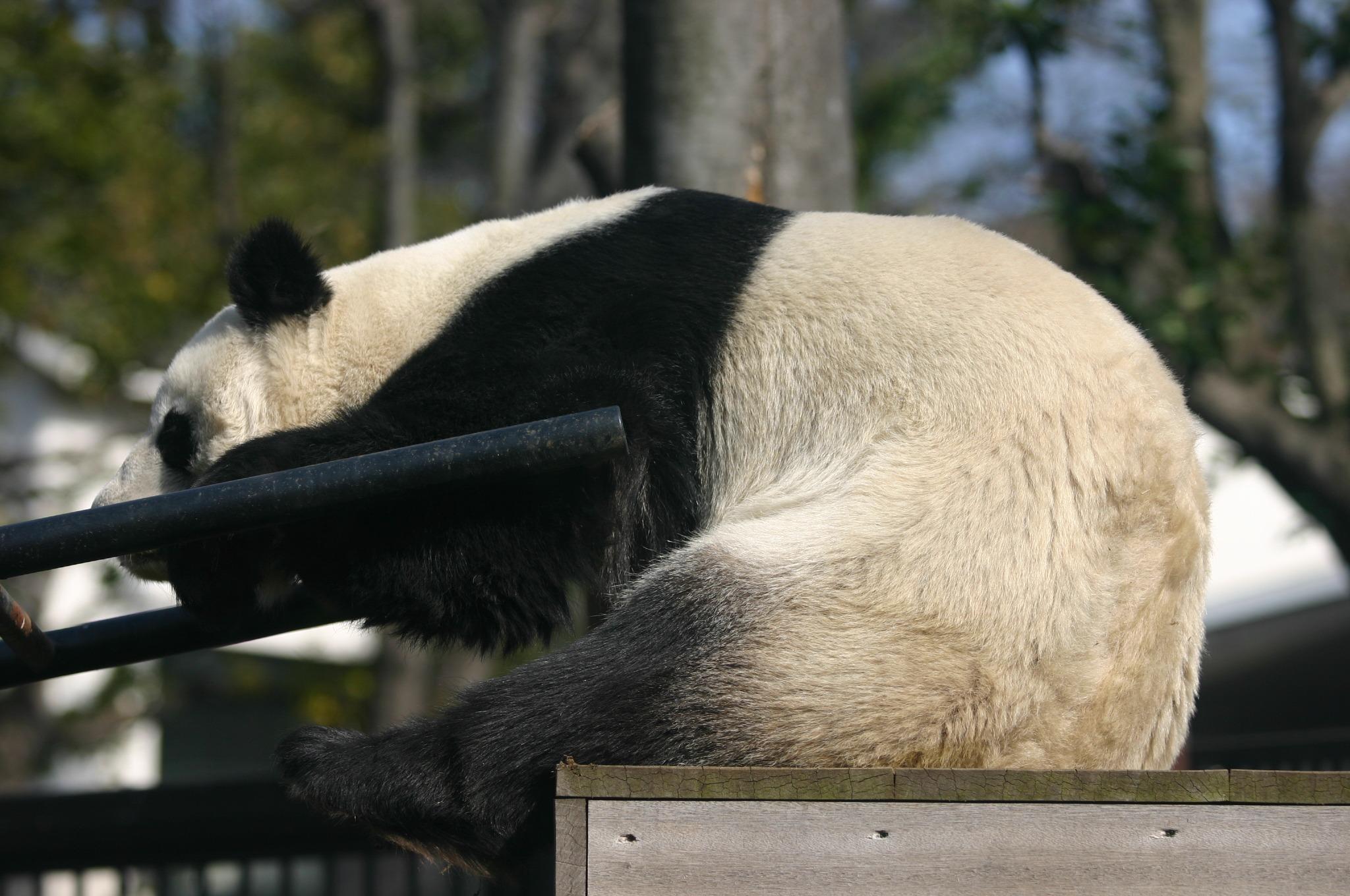 ジャイアントパンダのシュアンシュアン