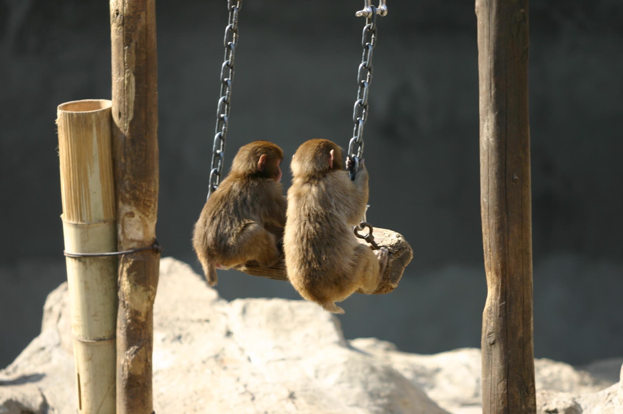 仲良くブランコで遊ぶサル山の小猿