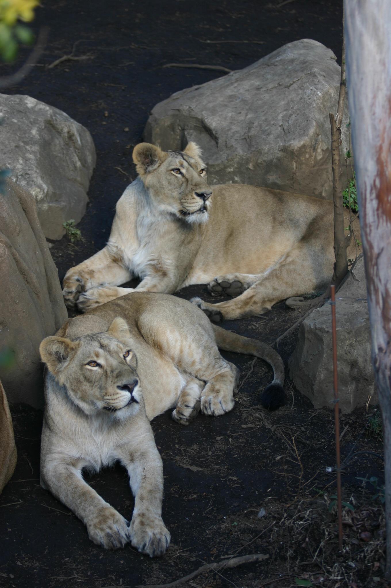 上野動物公園のライオン