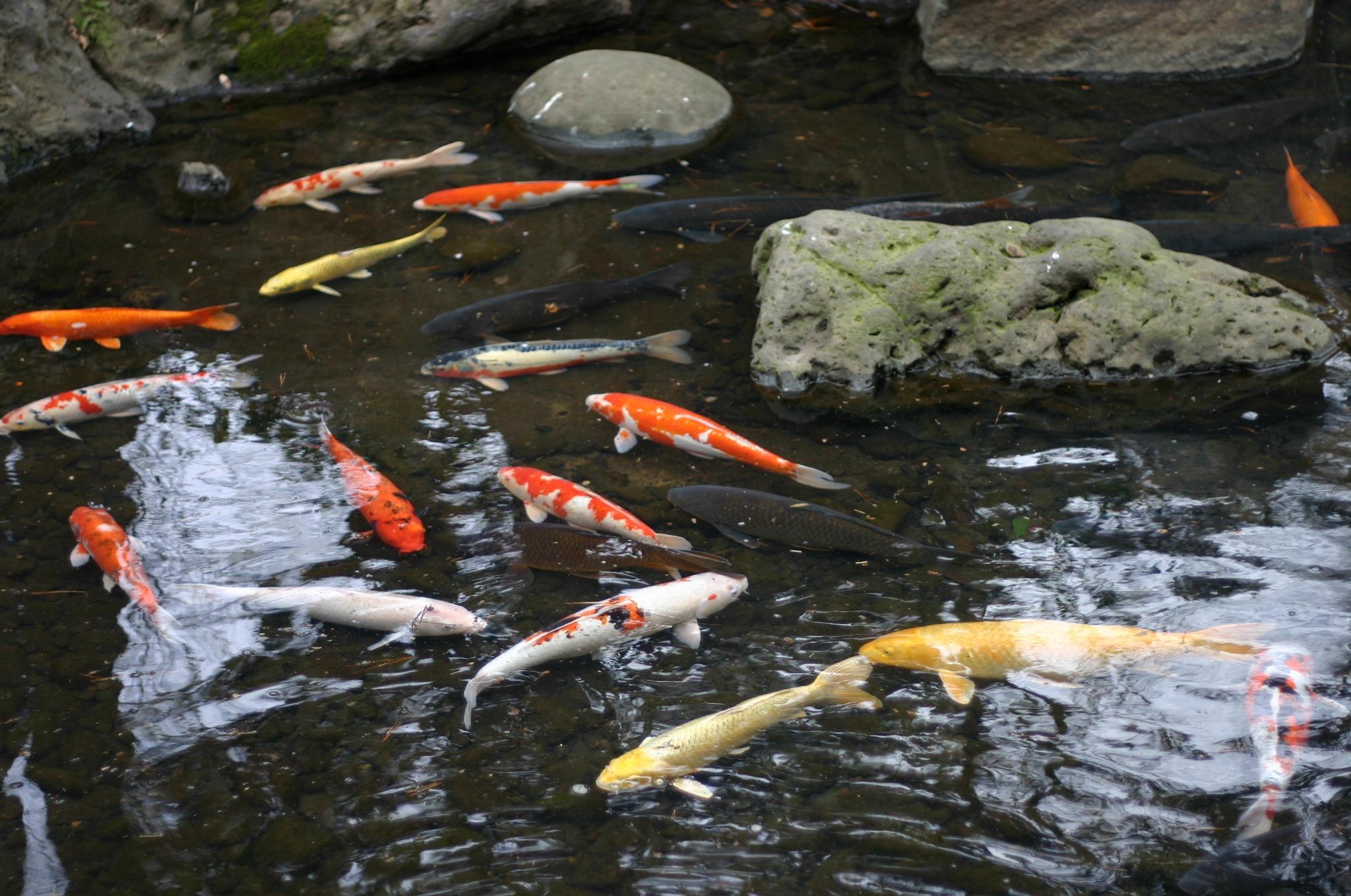 池にいた鯉