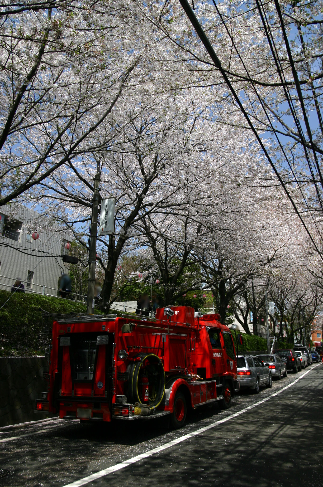 桜並木と消防車